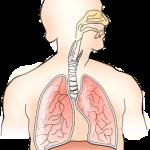 anatomía respiratoria